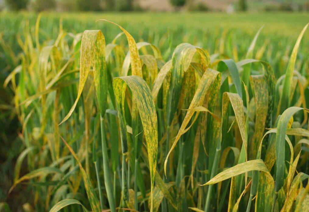 Buğday Hastalıkları